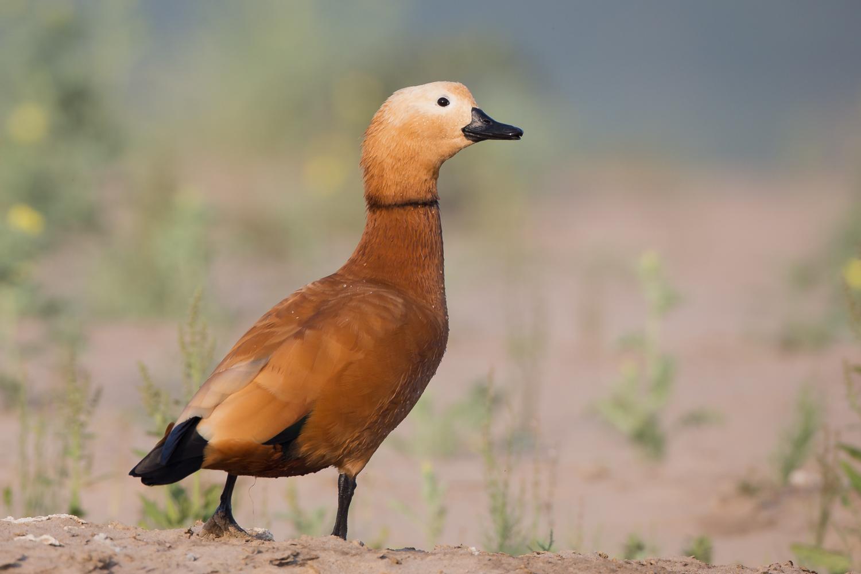 Ruddy Shelduck, Birds of India, wildlife, waterbirds