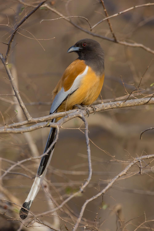 Rufous Treepie, Indian birds, wildlife