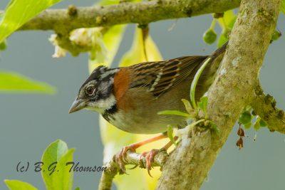 Rufous-collared Sparrow, Ecuador birds, wildlife photography
