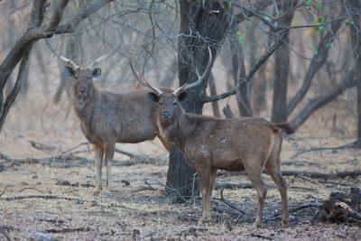 Sambar Deer stags, Indian wildlife, animals