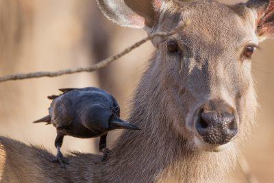 Sambar Deer, Indian wildlife, animals