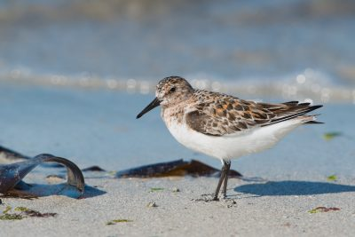 Sanderling, British birds, wildlife