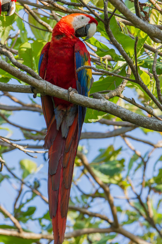 Scarlet Macaw, Costa Rica birds, parrots, wildlife photos