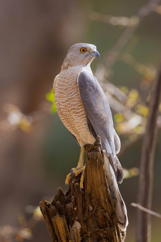 Shikra, Indian birds of prey, wildlife