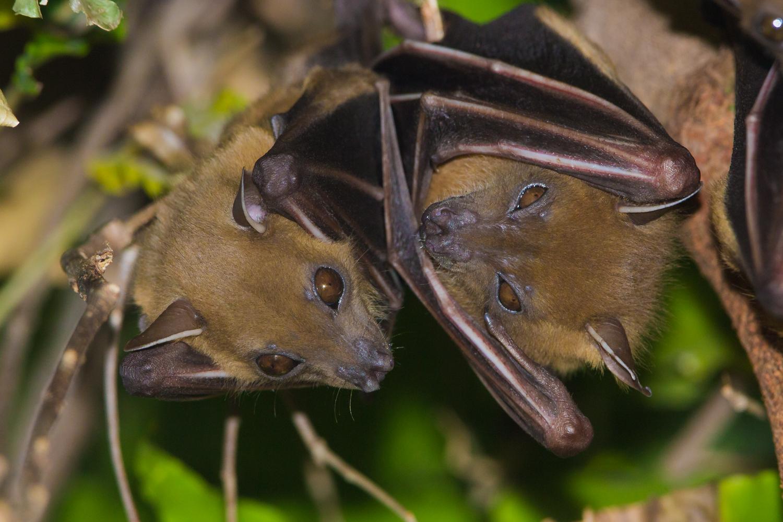 Short-nosed Fruit Bats, Cynopterus, Indian wildlife, animals