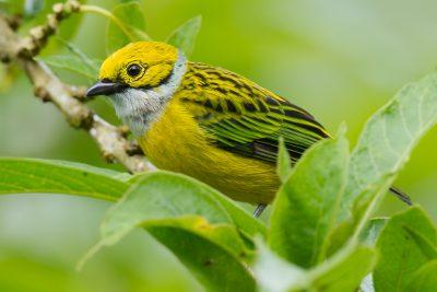 Silver-throated Tanager, Ecuador birds, wildlife photography
