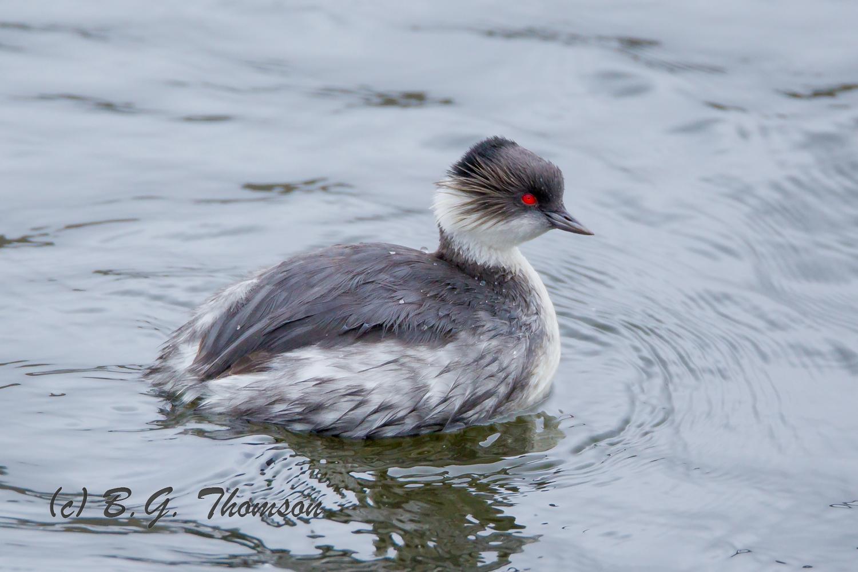 Silvery Grebe, Ecuador birds, wildlife photography