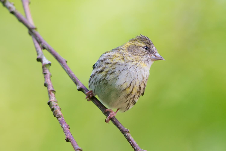 female Siskin, British wildlife, birds