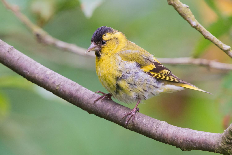 Male Siskin, British birds, wildlife