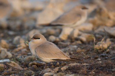 Small Pratincole, Indian birds, wildlife