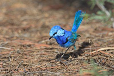Splendid Fairy-wren, Australian birds