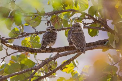 Spotted Owlet, Indian birds, wildlife