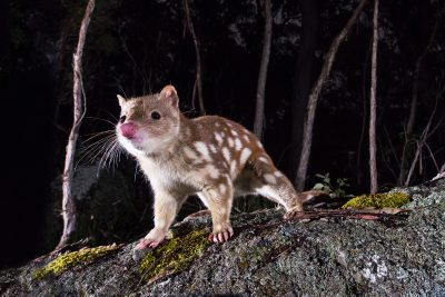 Spotted-tailed Quoll, Australian endangered species