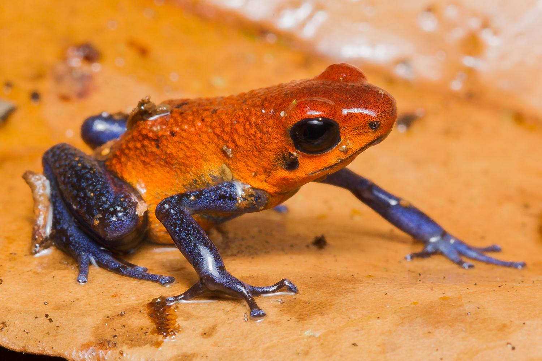Strawberry Poison Dart Frog, Costa Rica wildlife images