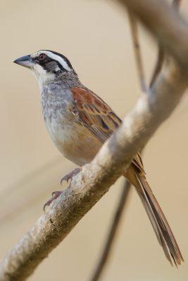 Stripe-headed Sparrow, Costa Rica wildlife images, photos