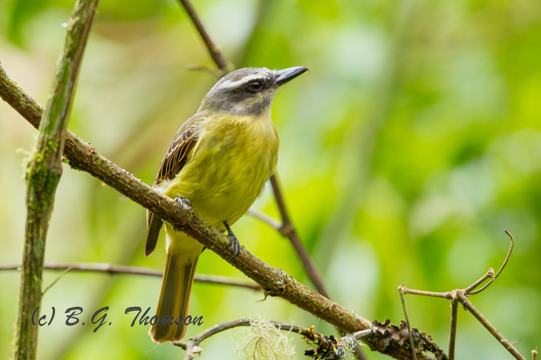 Sulphur-bellied Flycatcher, Ecuador wildlife photography