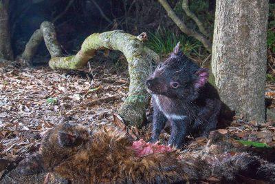 Tasmanian Devil,  Australian wildlife, animals