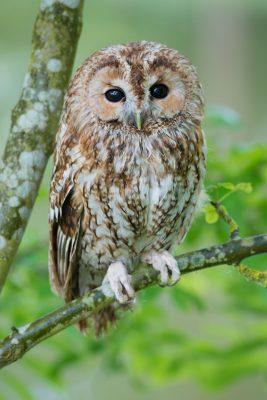 Tawny Owl, UK wildlife, birds of prey