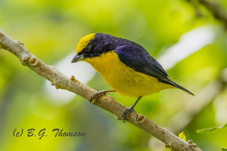Thick-billed Euphonia, Ecuador birds, wildlife photography