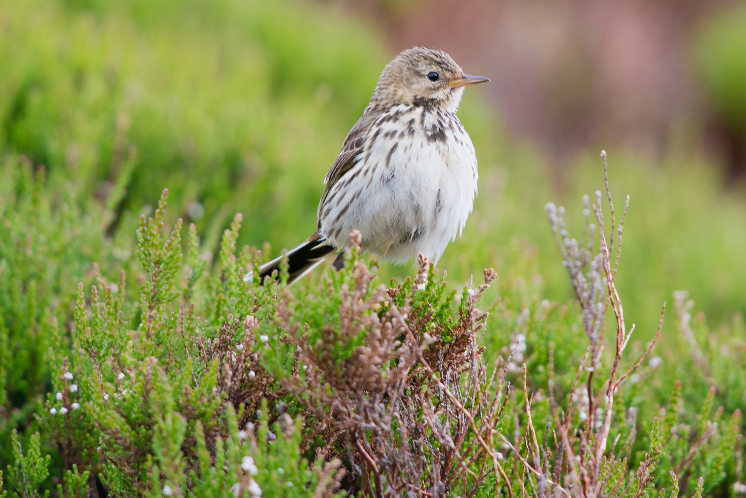 Tree Pipit, UK birds, wildlife