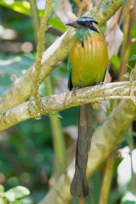 Turquoise-browed Motmot, Costa Rica birds, wildlife images