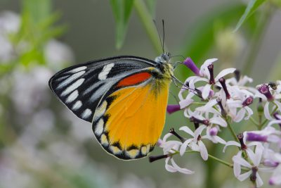 Vietnamese Red-spot Jezabel Butterfly, Indian insects