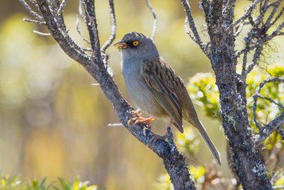 Volcano Junco, Costa Rica birds, wildlife images
