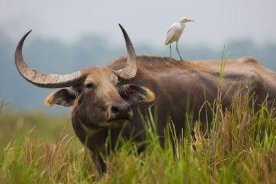 Water Buffalo, Indian wildlife, animals