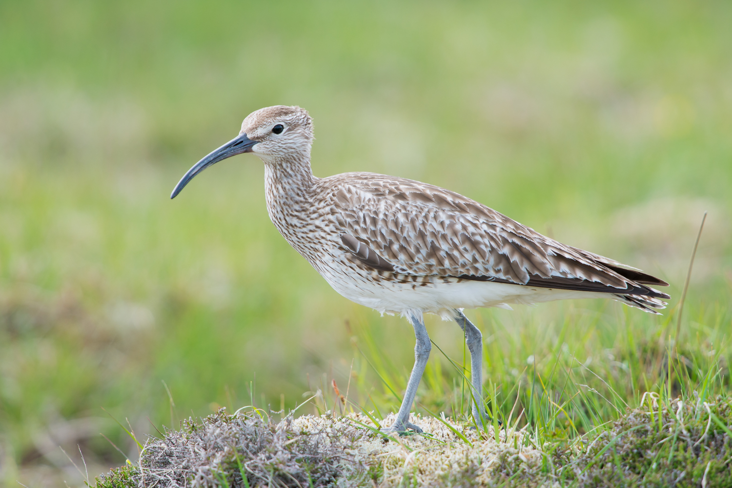 Whimbrel, British wildlife, birds