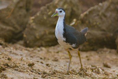 White-breasted Waterhen, Indian birds, wildlife