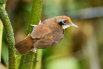 White-browed Antbird, Ecuador birds, bird photography