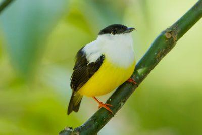 White-collared Manakin, Costa Rica birds, wildlife, images