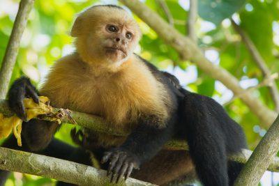 White-faced Capuchin, Costa Rica wildlife, animals, monkey