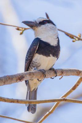 White-necked Puffbird, Costa Rica birds, wildlife