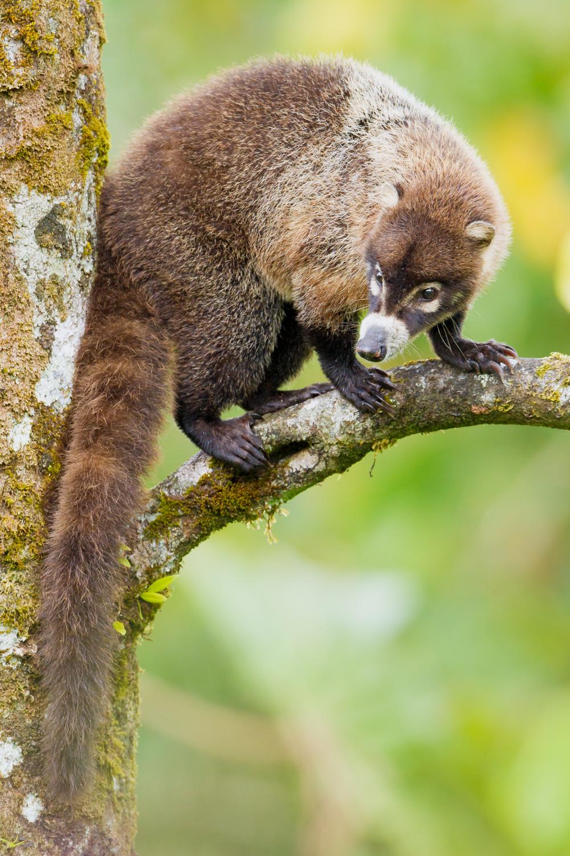 White-nosed Coati, Costa Rica wildlife, animals