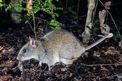 White-tailed Rat, Australian wildlife, rainforest
