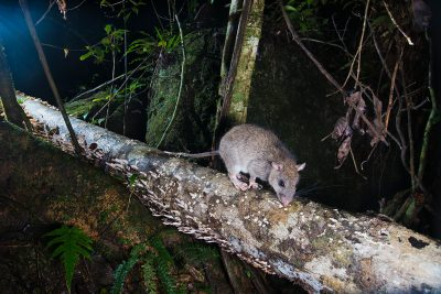 White-tailed Rat, Camera Trap