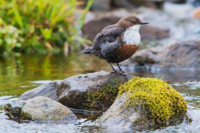 White-throated Dipper, British birds, wildlife