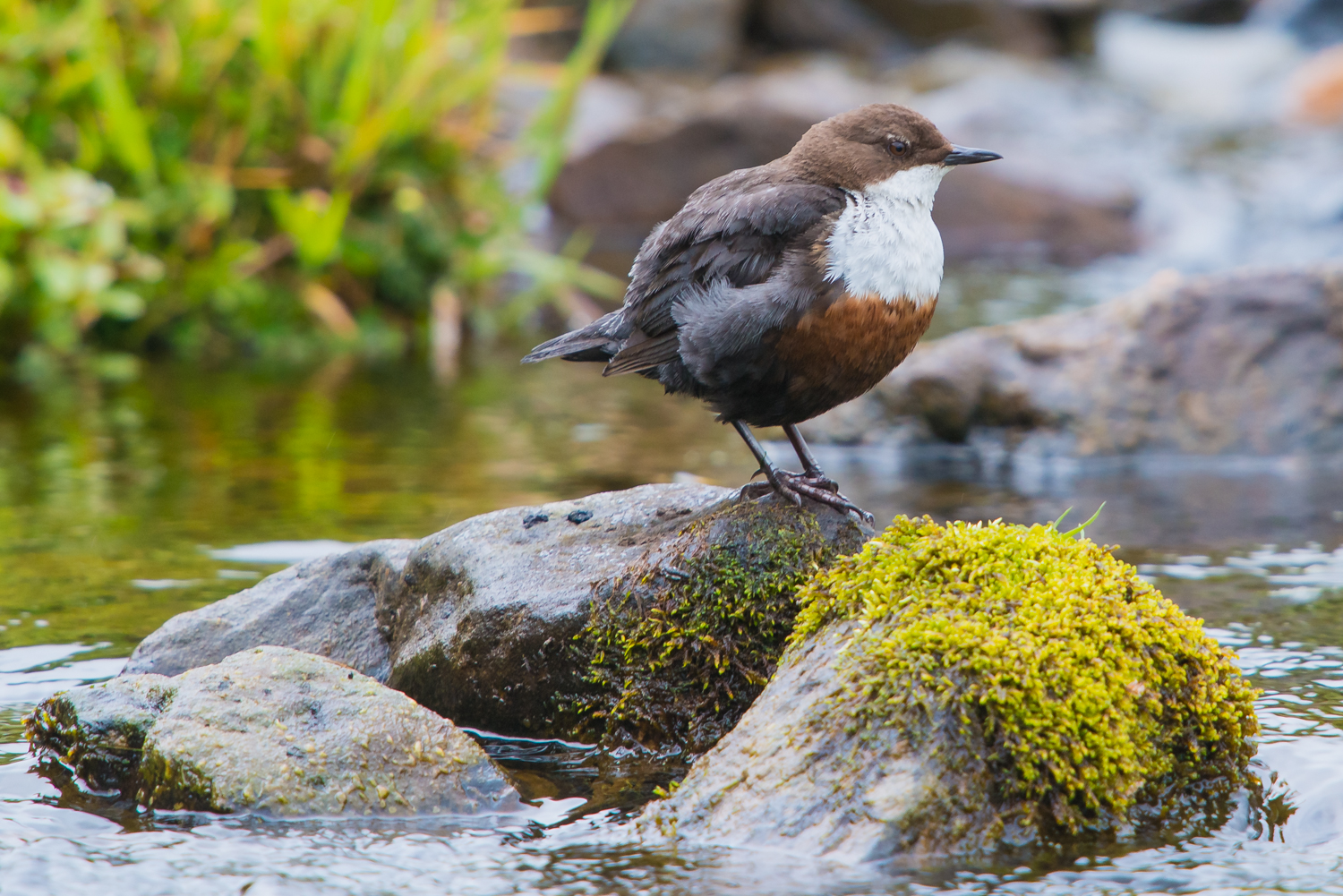 White-throated Dipper, British birds, wildlife