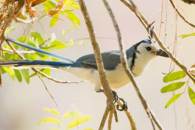 White-throated Magpie-Jay. Costa Rica birds, wildlife