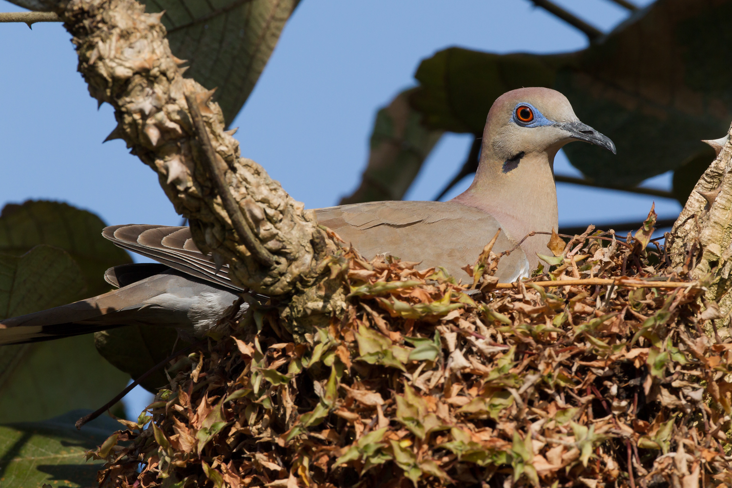 White-tipped Dove, Costa Rica wildlife images