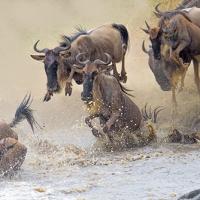 Wildlife - Wildebeest crossing the Mara River