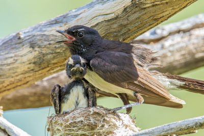 Willie Wagtail, Australian Birds