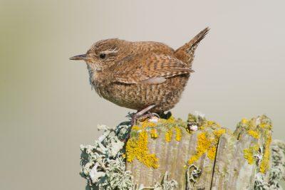 Winter Wren, UK birds, wildlife