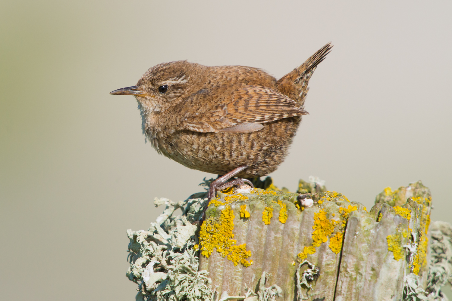 Winter Wren, UK birds, wildlife