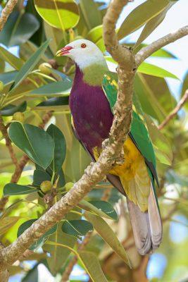 Wompoo Pigeon (Fruit Dove), Ptilinopus magnificus, Australian Wildlife