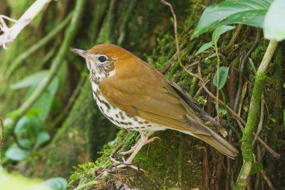 Wood Thrush, wildlife images