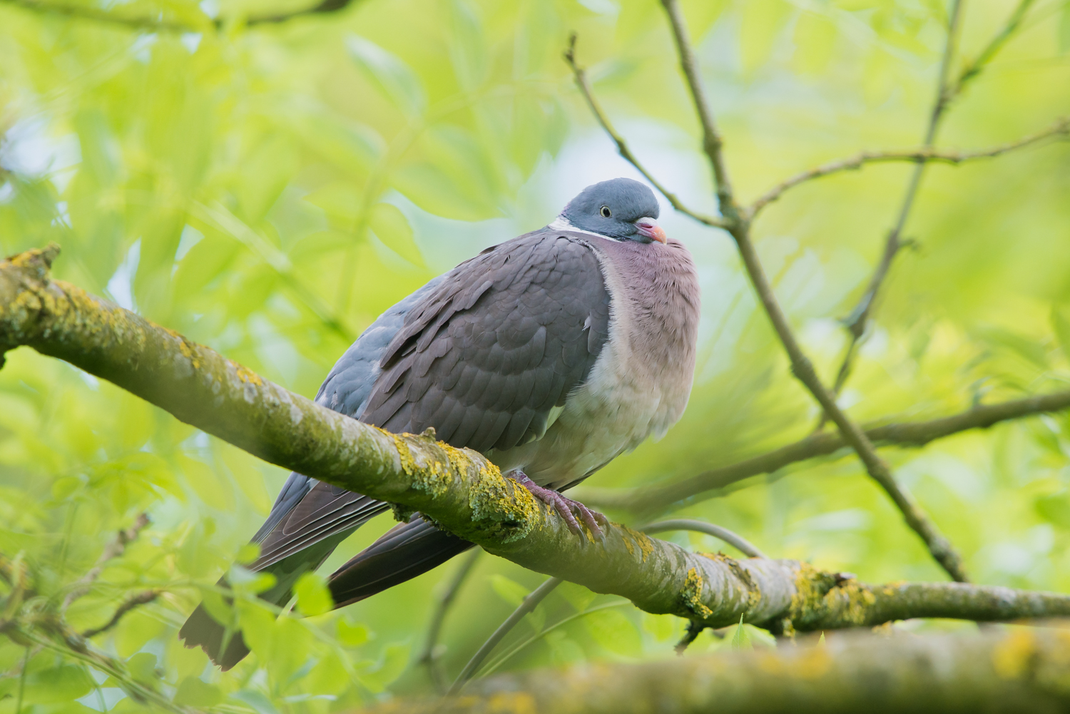 Woodpigeon, British wildlife, birds