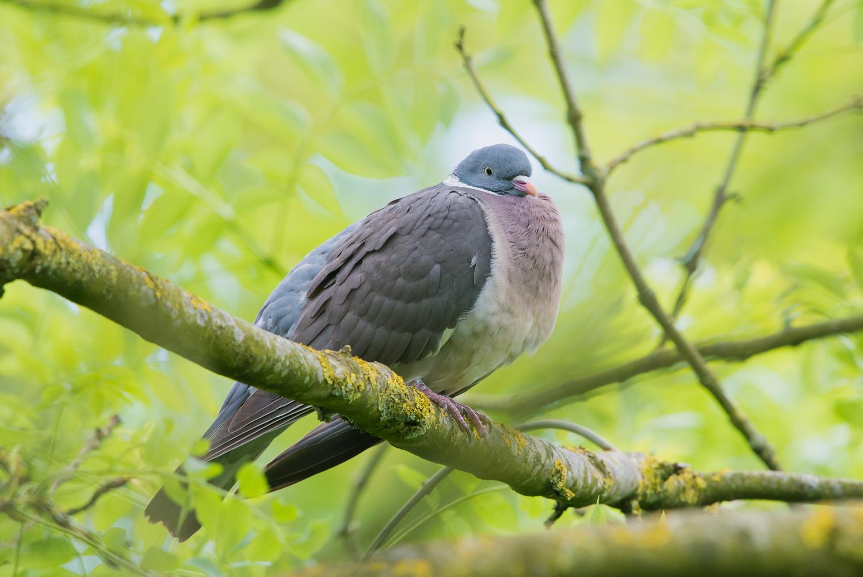 Woodpigeon, British wildlife, birds