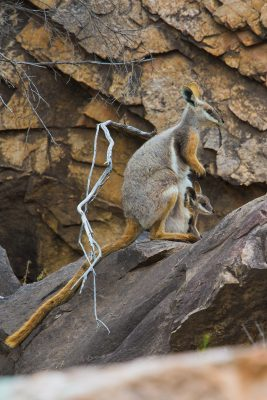 Yellow-footed Rock-wallaby,  threatened species